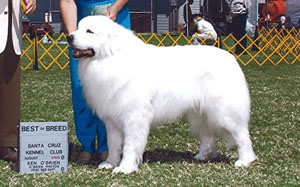 Great Pyrenees Bobo