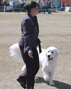 Great Pyrenees Callie