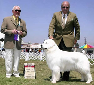 Great Pyrenees Choo Choo