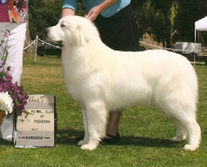 Great Pyrenees Diva