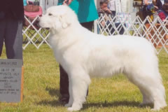 Great Pyrenees Hope